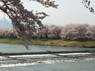 sakura and river