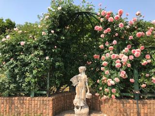 京成バラ園ピンク